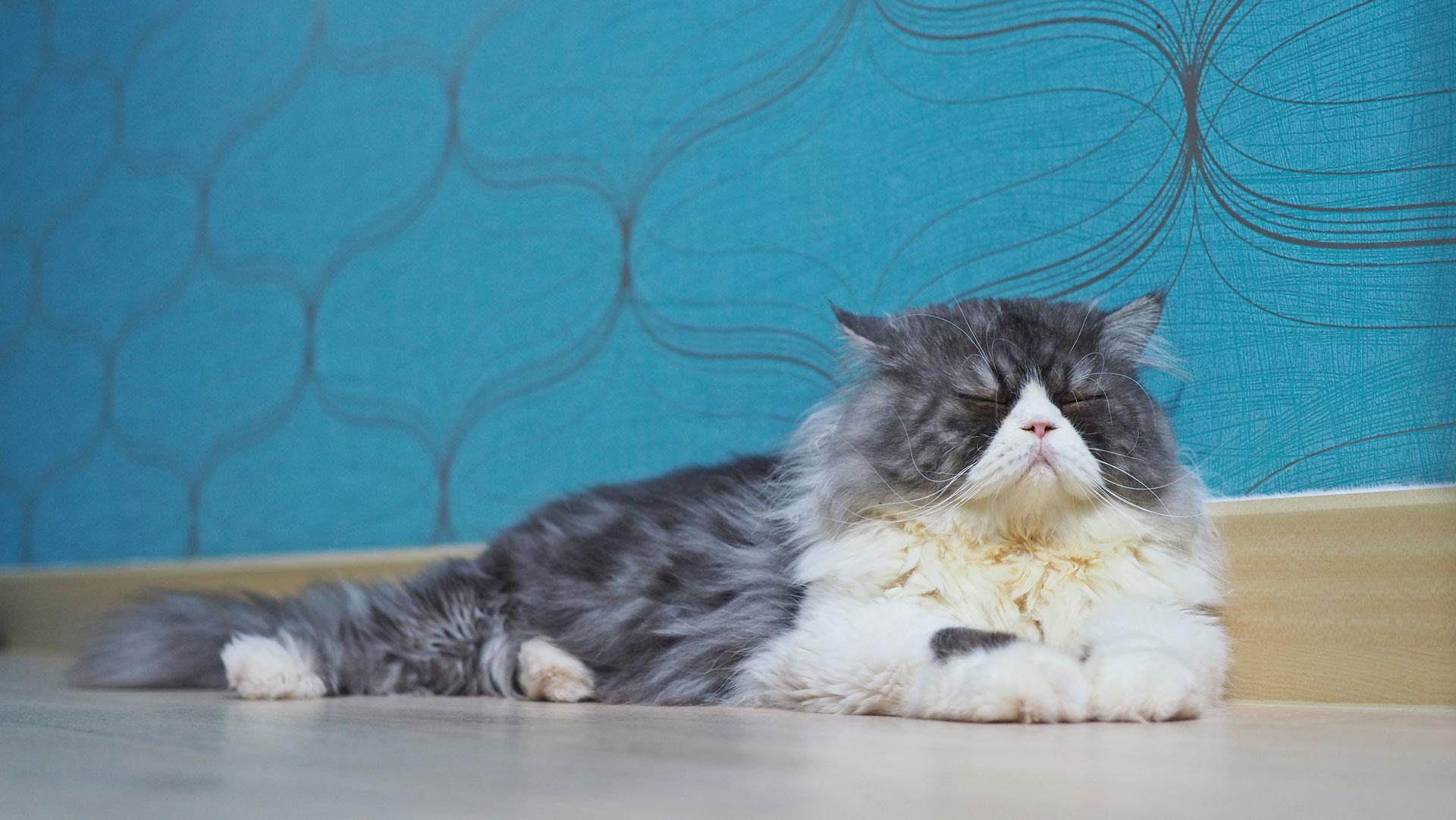 longhaircat
