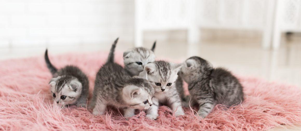 Comment sevrer un chaton nourri au biberon